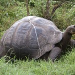Galapagos giant tortoise on Santa Cruz Island