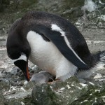 Gentoo Penguin and Baby on Aitcho Island, Antarctica