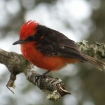 vermillion flycatcher on Santa Cruz Island