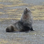 Elephant Fur Seal on Aitcho Island, Antarctica