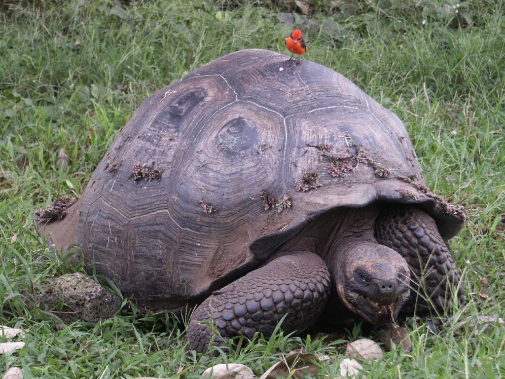 Galapagos Giant Tortoise And Vermillion Flycatcher Geeky