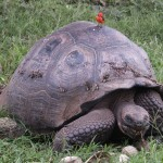 Galapagos giant tortoise and vermillion flycatcher on Santa Cruz Island