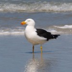 Pacific Gull in Wilson's Promontory National Park, Victoria