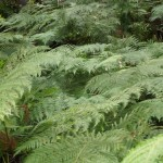 Ferns in Blue Mountain National Park, New South Wales