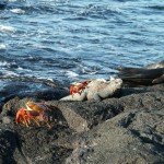 marine iguana and sally lightfoot crab on Santiago Island