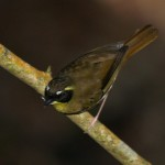 Yellow-throated Scrubwren (m) in Blue Mountain National Park, New South Wales