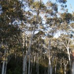 Eucalyptus trees in Blue Mountain National Park, New South Wales
