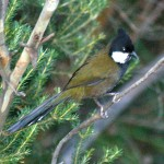 Eastern Whipbird in Blue Mountain National Park, New South Wales