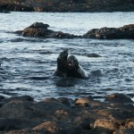 Galapagos sea lions on Santiago Island