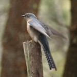 Fan-tailed Cuckoo in Blue Mountain National Park, New South Wales