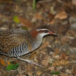 Buff-banded Rail in Sydney, New South Wales