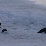 Emporer and Adelie Penguins in Prince Gustov Channel, Antarctica