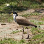 Masked Lapwing in Sydney, New South Wales