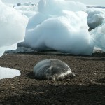 Seal between Ice Chunks on Snow Hill Island, Antarctica