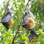 Flying Foxes in Sydney, New South Wales