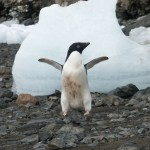 Adelie Penguin on Devil Island, Antarctica