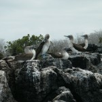 Blue-footed Boobies at Venecia Islet