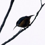 Eastern Spinebill in Wilson's Promontory National Park, Victoria