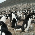 Adelie Penguins on Devil Island, Antarctica