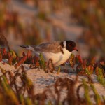 Hooded Plover in Wilson's Promontory National Park, Victoria