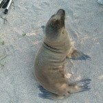 Galapagos sea lion on North Seymour Island