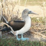 Blue-Footed Booby on North Seymour Island