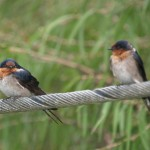 Welcome Swallow in Yanakie, Victoria
