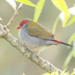 Red-browed Finch in Yanakie, Victoria