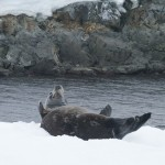 Weddell seal on Hydrurga Rocks, Antarctica