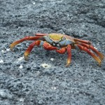 Sally lightfoot crab on Fernandina Island