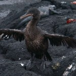 Flightless Cormorant on Fernandina Island