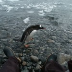 Gentoo Penguin walking in front of my legs on Cuverville Island, Antarctica