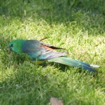Red-rumped Parrot in Melbourne, Victoria