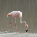 Greater Flamingo on Floreana Island