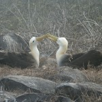 Waved albatross on Espanola Island