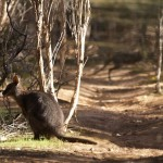 Tamar Wallaby (note second wallaby hopping in background) on Kangaroo Island, South Australia