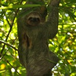 Three-toed Sloth in Manuel Antonio National Park, Costa Rica