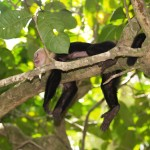 White-faced capuchin in Manuel Antonio National Park, Costa Rica