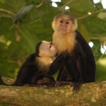 Mother and baby white-faced capuchins in Manuel Antonio National Park, Costa Rica