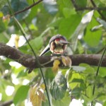 Fiery-billed aracari in Manuel Antonio National Park, Costa Rica
