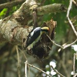 Golden-naped woodpecker in Manuel Antonio National Park, Costa Rica