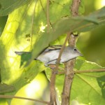 Chestnut-sided warbler in Manuel Antonio National Park, Costa Rica