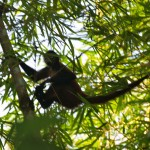Spider monkey in Playa Caletas in Costa Rica
