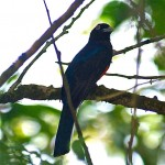 Baird's trogon (m) in Playa Caletas in Costa Rica
