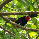 Chestnut-mandibled toucan in Playa Caletas in Costa Rica