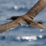 Brown booby and flying fish off Osa Penisula, Costa Rica