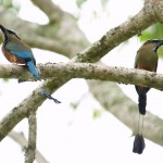 Turquoise-Browed Motmots at copan ruins