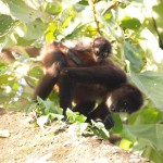 Mother and baby spider monkeys in Corcovado National Park, Costa Rica