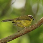 Chestnut-capped Warbler at copan ruins
