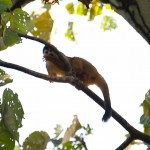Squirrel monkey in Corcovado National Park, Costa Rica